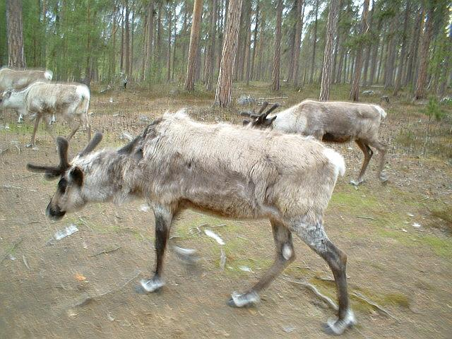 Scandinavia Travel: lapland-rein-deer.jpg